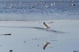 weißer und brauner Vogel, der auf einem Strand fliegt foto