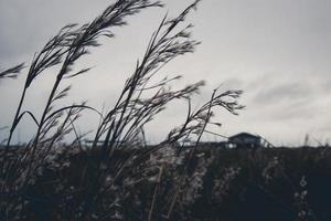 hohes gefiedertes Gras auf einem Feld foto