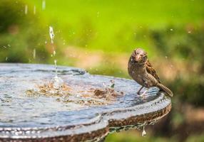 Vogel stehend auf Vogelbad foto