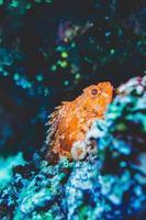 Orangenfisch unter Wasser