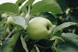 Nahaufnahme von grünem Apfel foto