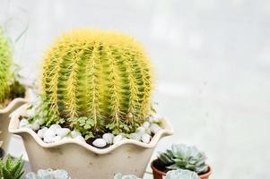 grüne Kaktuspflanze