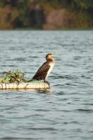 braune Ente am Rande des Wassers