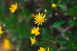 gelbe Gänseblümchenblumen