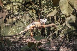 Leguan, der auf einem Ast ruht foto