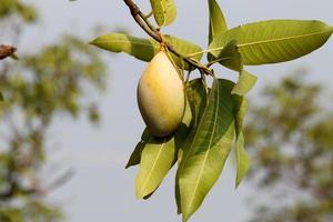grüne Mango auf Zweig foto