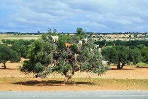 Ziegen klettern auf einen Baum foto