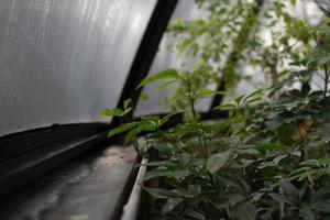 grüne Pflanze in der Nähe von Gewächshausfenster foto