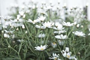 weiße Gänseblümchenblumen