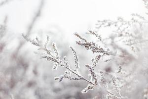 schneebedeckte Blütenpflanze mit weißen Blütenblättern