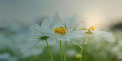weiße Kosmosblume
