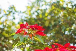 rote Weihnachtssternblüten foto