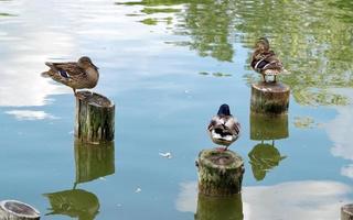 Enten stehen auf Holzstämmen