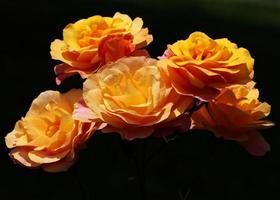 orange Rosenblüten