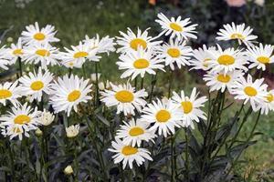 Gruppe von Gänseblümchenblumen