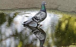 Taube in einer Pfütze auf Asphalt stehen
