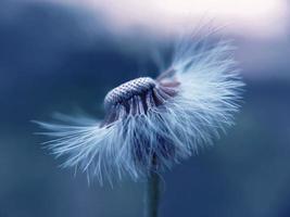 weiße Blütenblatt-Löwenzahnblume in Blau foto