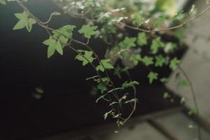 grüne Efeupflanze