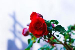 Nahaufnahme des roten Rosenstrauchs