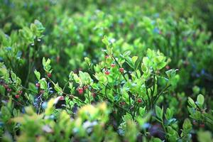 Busch mit roten Beeren drauf foto