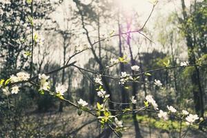 weiße Kirschblüten auf Zweig foto
