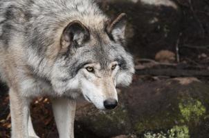 Wolf steht auf Stein foto