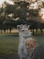 flaches Fokusfoto des braunen Hirsches foto