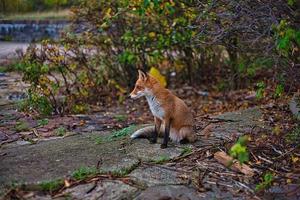 Fuchs sitzt auf dem Weg zwischen Pflanzen foto