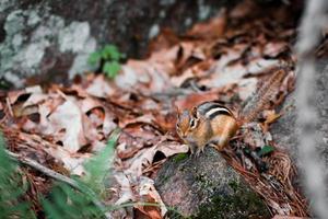 Eichhörnchen auf grauem Felsen foto