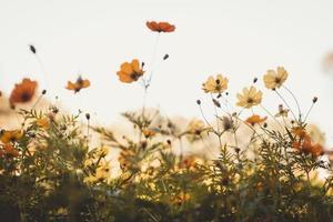 gelbe und orange Kosmoblumen