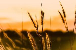 wildes Gras zur goldenen Stunde