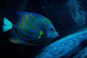 blauer Fisch schwimmt foto