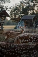 brauner Hirsch, der nahe Farm steht foto