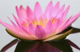 rosa Lotusblume foto