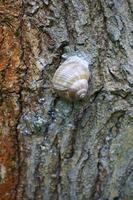 Schneckenstöcke auf Baumrinde foto