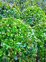 Buxus Pflanze