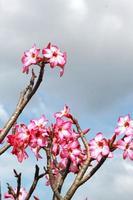 Azaleenblüten mit Himmelblau