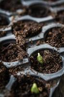 grüner Spross wächst foto