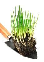 grünes Weizengras mit Wurzeln in der Schaufel foto