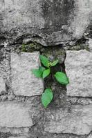 der Baum wächst in einer Steinmauer. Wachstumskonzept foto