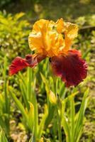Sultan gelbe und lila Iris foto