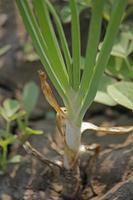 Wurzeln, Blätter und sich entwickelnde Zwiebelknollen foto