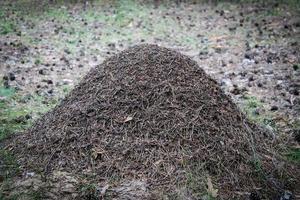 Ameisenhaufen foto