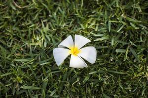 Plumeria. foto
