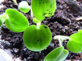 Nahaufnahme des grünen Sämlings foto