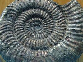 großes Ammonitenfossil
