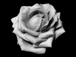 Rose der Dunkelheit foto