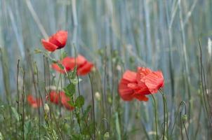 rote Mohnblume in einem Getreidefeld foto