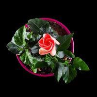 Hibiskusblüte mit Knospe in der Draufsicht des Blumentopfs foto