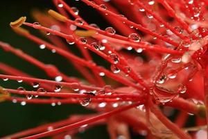 Mayflower, Puderquaste Lilie oder Blutlilie Blume foto